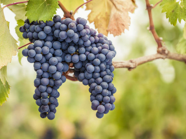 Studying? A Beginner's Guide to Chilean Wine